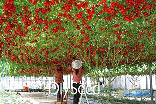 Les meilleures ventes! Graines * Comb S / H Livraison gratuite, # de RLLXAS de voyage L récolte »50 graines / Sac ITALIEN TREE TOMATE Seeds
