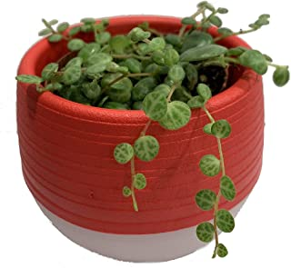 String of Turtles Succulent Plant in 3