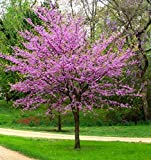 Eastern Redbud Tree - Dormant Plant Bareroot Shipped 12-24 inches
