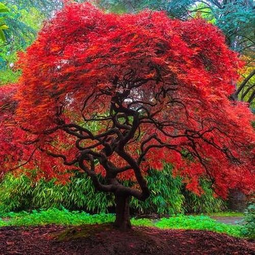 Autumn Fire Weeping Japanese Maple 3 - Year Live Plant