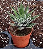 Haworthia Attenuata, Zebra Zebrina Exotic Rare Succulent Cactus Plant Cacti 2'