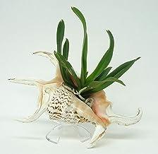 Orchid Creations Vanda Arada Jairak Amber
