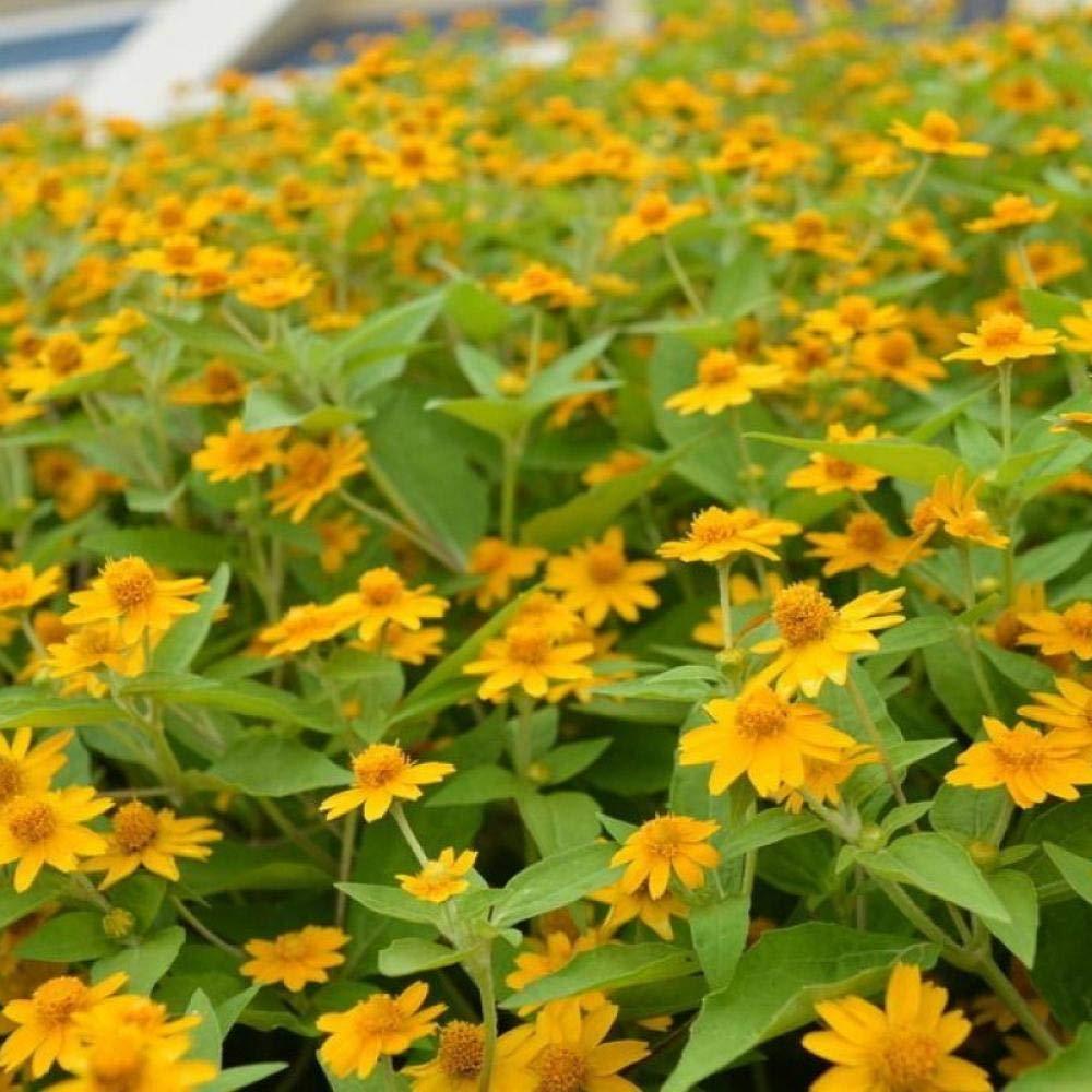 jardín Ornamental balcón,Jardín Planta en Maceta perenne,Balcón del crisantemo Emperador Paisaje en Maceta Flores Verdes y Semillas de mar-1 kg: Amazon.es: Hogar