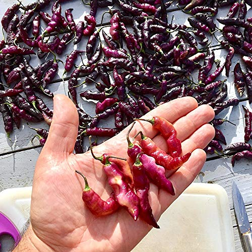 10 Pure Graines du Piment PINK TIGER CHILI PEPPER: Le plus beau et piquant Piment du Monde