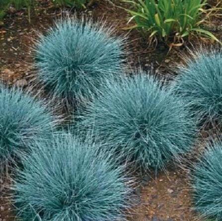 100 bleu fétuque Semences à gazon - (Festuca glauca) herbe ornementale plante vivace si facile à cultiver 4