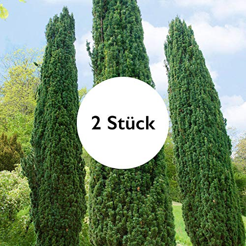 Pflanzen Kölle 2er Set Grüne-Säuleneibe, Taxus baccata Fastigiata Robusta, 60-70 cm im 7,5 Liter Topf