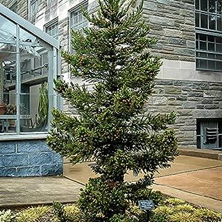 Black Dragon Cryptomeria ( japanese cedar ) - Live Plant - Trade Gallon Pot