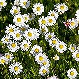 Margarita común, semillas de margarita de césped - Bellis perennis - 1200 semillas
