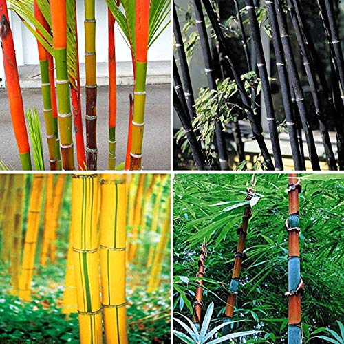 ScoutSeed verde: 3A7E 797A 100Pcs Tinwa Phyllostachys Pubescens Semillas Jardín Suministros Plantas Bambú: Amazon.es: Jardín
