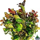 Greenpro 3-Bundles Ludwigia Repens Ovalis Red Stem Live Aquarium Plants Freshwater Fish Tank