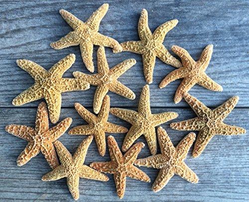 Sugar Starfish   12 Brown Sugar Starfish 2'-3'   Plus Free Nautical eBook by Joseph Rains