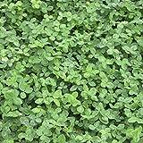 Trébol Blanco (Trifolium Repens) 1kg Solo Semillas Grünland Resistencia Gen. Resistente Frío