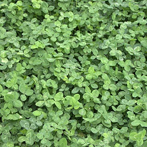 Weißklee (Trifolium repens) 1 kg Kriechklee Saatgut Grünland Ausdauer Winterhart