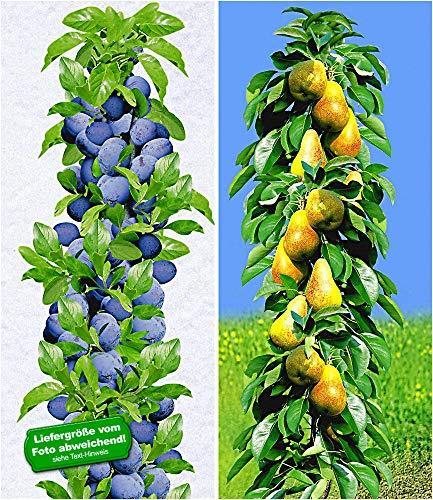 BALDUR-Garten Säulen-Obst-Kollektion Birnen & Zwetschgen, 2 Pflanzen Birnbaum + Zwetschenbaum