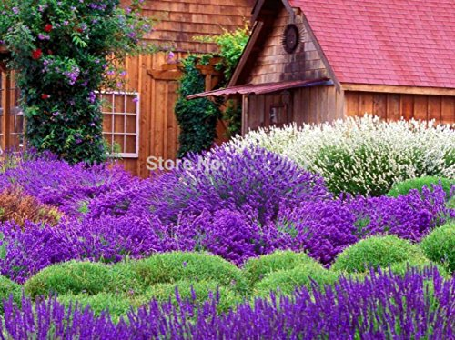 Vente! 20 Pcs / Seeds pack Hot Pink univalve Géranium Graines vivace Fleur Pelargonium peltatum pour Rooms, # C7UAJB