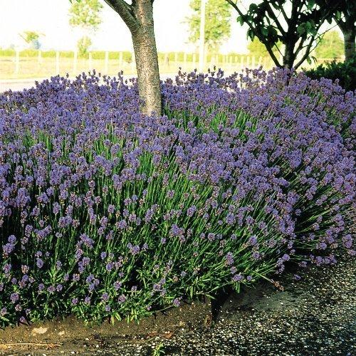 6X Lavender Hidcote Well Established Plants in 9cm Pots