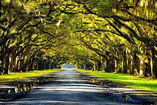 JSYEOP Ek träd som bildar en baldakin ovanför södra vägen foto konsttryck affisch konst 40 x 60 cm (16 x 24 tum)
