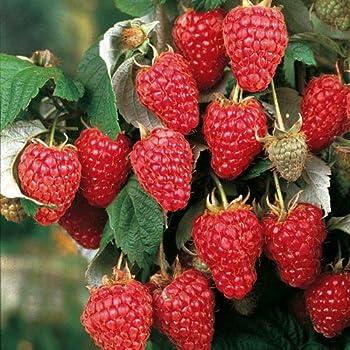1 Pianta di Mora Chester Rubus Fruticosus dai Frutti Grandi e Dolci