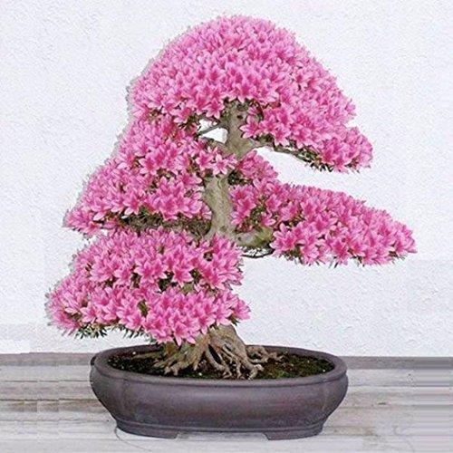 Kisshes Semillas de la flor de cerezo, flor adorable flores fragantes Bonsai semillas de flor de cerezo (púrpura)