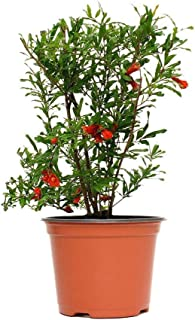 AMERICAN PLANT EXCHANGE Dwarf Pomegranate Bush Indoor/Outdoor Air Purifier Live Plant, 6