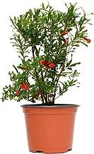AMERICAN PLANT EXCHANGE Dwarf Pomegranate Bush Indoor/Outdoor Air Purifier Live Plant, 6