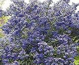 """Ceanothus madagascar - lillà della california pianta in 3.5"""" pot Il prezzo include doveri customes Semi è il pacchetto set Spedizione fornendo internazionale"""