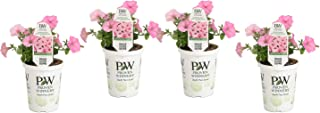 Proven Winners SUPPRW4007524 Petunia Supertunia Vista Bubblegum, Live Plant, 4-pack 4.25 in. Grande, Pink Flowers