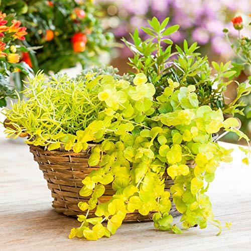 AIMADO Samen-50 Pcs Pfenningskraut Goldilocks Schnell im Wuchs Bodendecker mehrjährig winterhart Bonsai Samen ideal für Balkon Steingarten