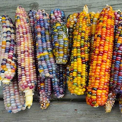 MEGA MAIS 1Kg XXL Giant Corn großer Riesenmais