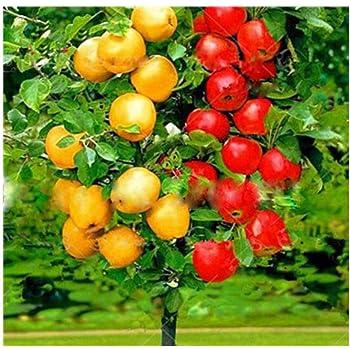 Amazon Com 30pcs Apple Tree Seeds Dwarf Bonsai Apple Tree Seeds Mini Fruit For Home Garden Planting Perennial Potted Plant Seeds Garden Outdoor