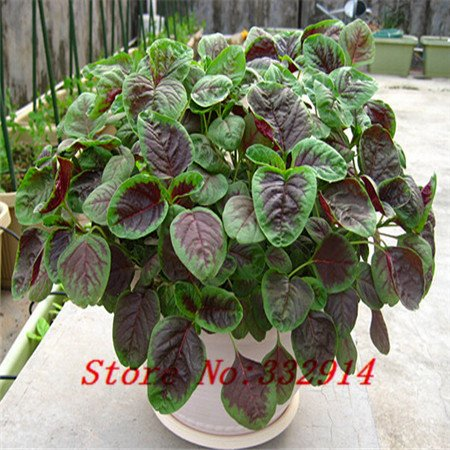 Vente! Potted 100 amarante rouge semences potagères balcon feuillage des plantes de salade de légumes nutritifs