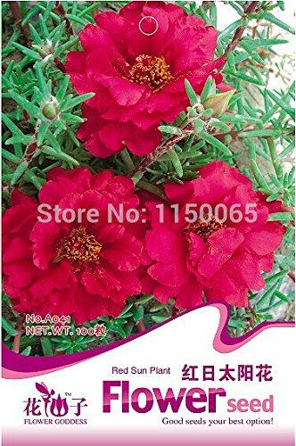Semence Red Sun Plant Hot vente, Graine Fleur, Plante en pot Bonsai jardin