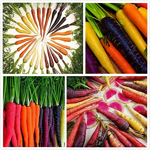 500pcs Mix Carrot Seeds Annual Heirloom Vegetable Seed for Outdoor Garden Terrace Greenhouse Courtyard Planting Easy to Care Gifts for Gardeners