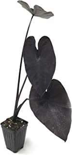 Black Coral Elephant Ear Colocasia Esculenta Live Plant