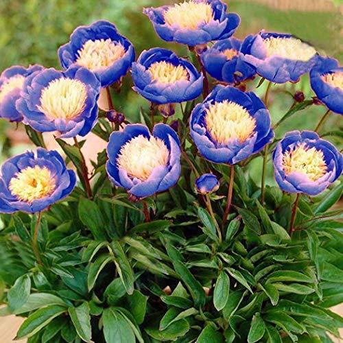 Qulista Samenhaus - 5pcs Selten Blau Päonie Duft Pfingstrosen Blumensamen winterhart mehrjährig