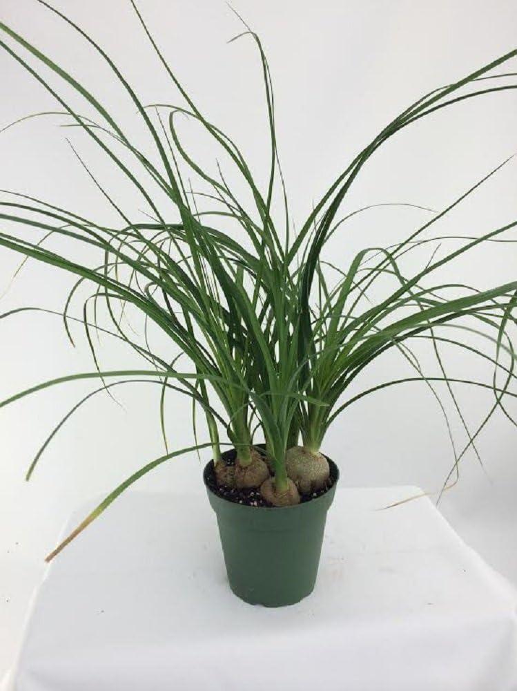 Jmbamboo -Ponytail Palm - 4