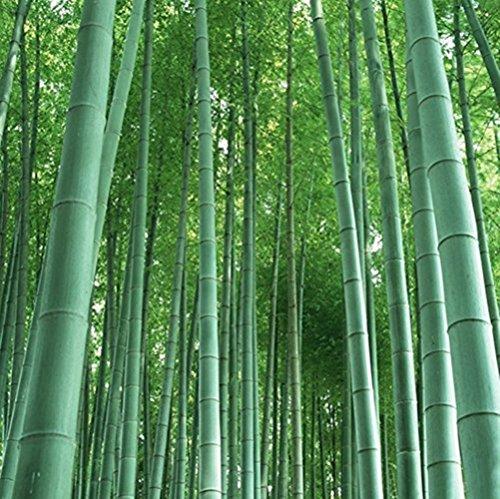 RWS bambou géant (bambou Moso)/50 graines/hardy/pousse 10 mètres en un temps record et/Idéal comme un pare-brise écran