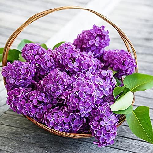 Oce180anYLVUK Lila Samen, 25 Stück/Beutel Flieder Samen Hochertragreiche Blume Leicht Zu Züchten Natürliche Lila Sämlinge Für Bonsai Syringa vulgaris Samen