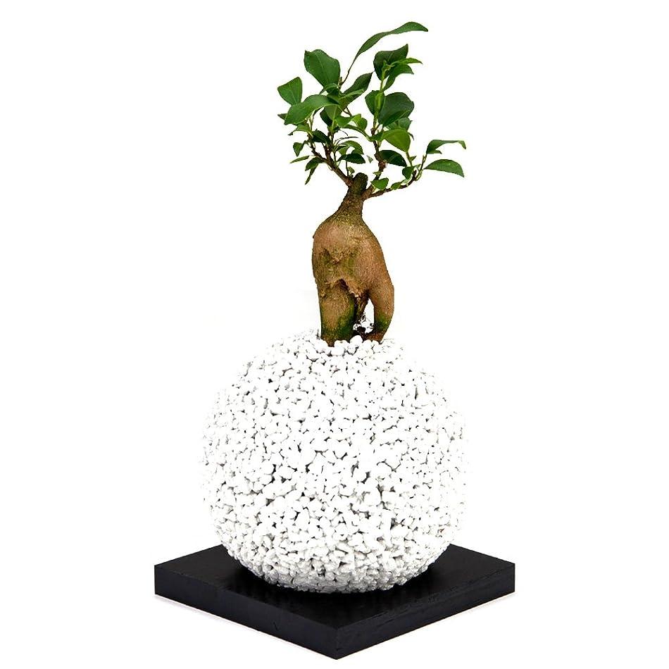 無知体体【eco-pochi】ガジュマル × エコポチ?スフィア (丸型通常サイズ) 白 竹炭やシラスを使った観葉植物用ポッド