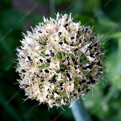 30pcs/sac géant oignon (Allium giganteum) graines bonsaï fleurs rares belle fleur plantes en pot jardin de Plum livraison gratuite