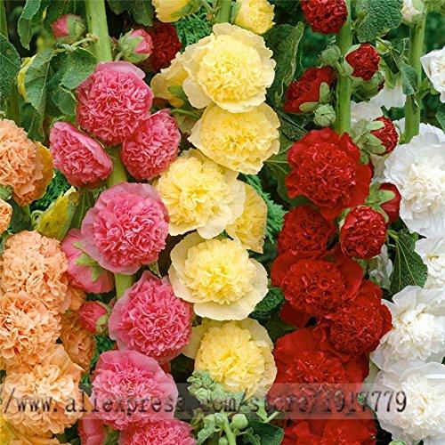 graines trémière rares bonsaï Althaea rosea graines de fleurs. Maison & Jardin fleurs en plein air, 100pcs / graines sac rose trémière de couleur mixte