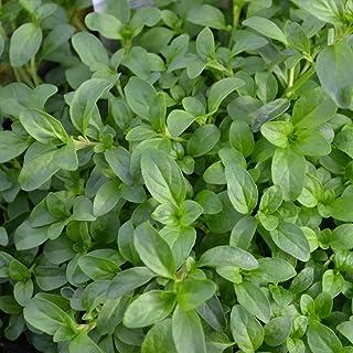 「アリよらずハーブの苗」【品種で選べるハーブ苗9cmポット/3個セット】防虫ハーブシリーズに、待望の蟻よらず(アリよらず)登場!'天然の防虫剤'と呼ばれており、オーストラリアではアリの嫌がる植物として有名です。庭や家の中、倉庫などへの侵入などア...