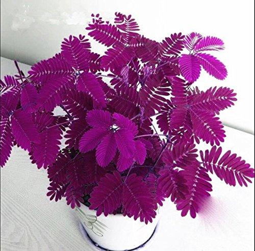 Les ventes chaudes! 100pcs Graines Mimosa Pudica Linn, feuillage Mimosa Pudica Sensible Bonsai plante jardin Livraison gratuite 1