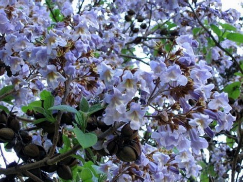 100 Semillas *Shantong-Paulownia* By Samenchilishop