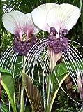 Tacca CHANTRIERI, Fledermausblume, weisse/purpur, Bat plant, 10 frische Samen