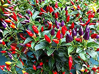 chinese giant pepper plant