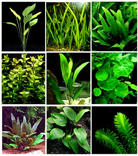 25 piante vive per acquario / 9 diversi tipi – Echinodorus amazonicus, Anubias, felce di Giava, Ludwigia e molte altre Un bel gruppo di piante acquatiche per acquari da 45 – 68 litri.