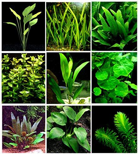 25 piante vive per acquario / 9 diversi tipi – Echinodorus amazonicus, Anubias, felce di Giava, Ludwigia e molte altre Un bel gruppo di piante acquati