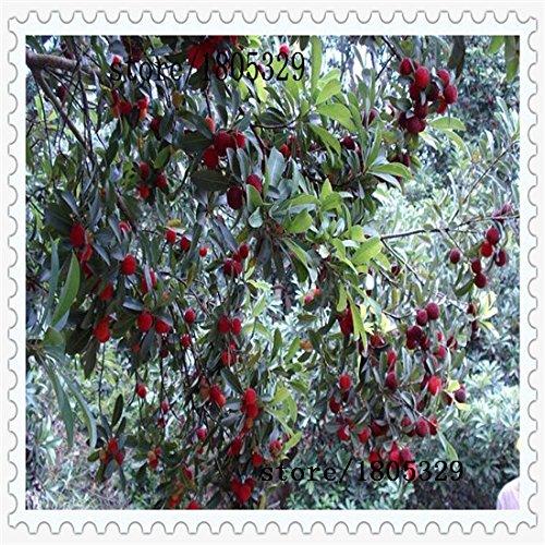 10 pcs / Pack, graines de arbousiers Myrica graines rubra rouges graines de bayberry arbousiers vivaces goût des graines d'arbres fruitiers doux