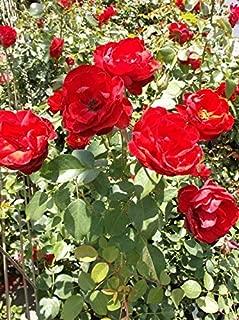 Dublin Bay Medium Red Rose 2 Gal Live Bush Plants Climbing Plant Fine Roses